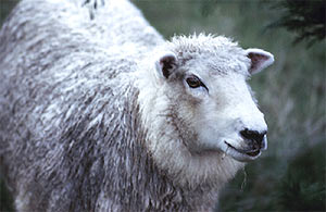 Овца не выдала насильника