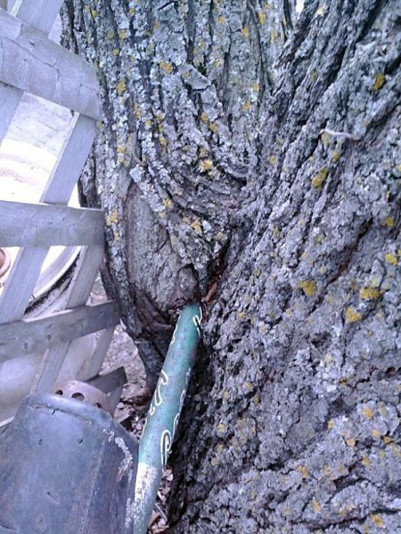 Хищное дерево сожрало велосипед