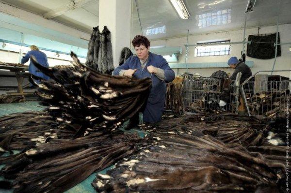 Как добывается норка и чернобурая лиса под Минском