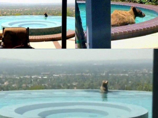 Медвежонок искупался в бассейне калифорнийского пентхауса