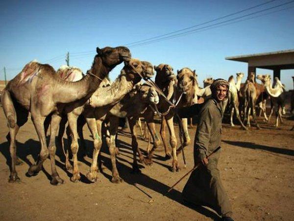 За голову Обамы назначили награду в 10 верблюдов.