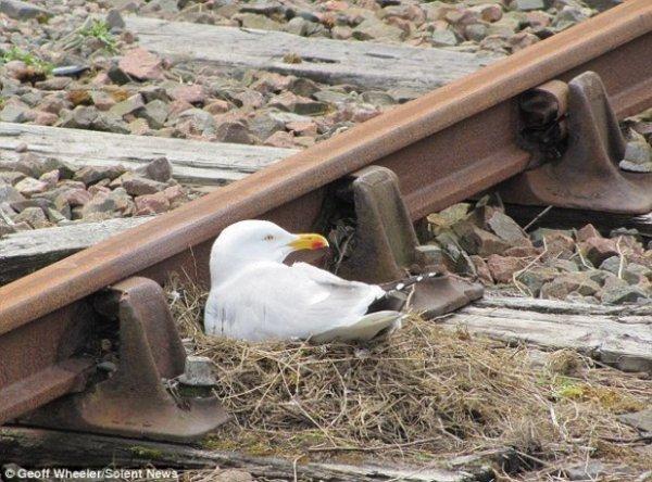 Бесстрашная чайка свила гнездо на рельсах