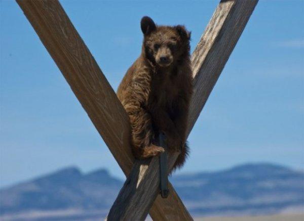 Медведь-экстремал, или как снять медведя с ЛЭП