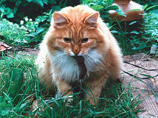 Американец заразился чумой, спасая мышь от кота.