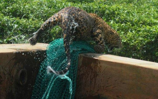 Как спасали леопарда