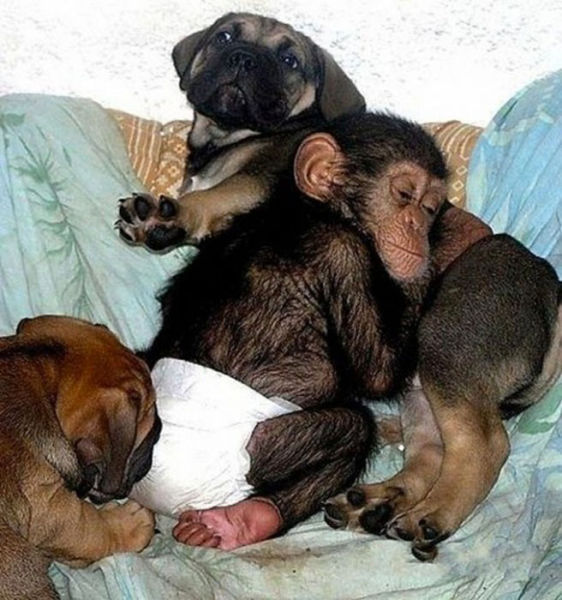 Собака усыновила шимпанзе