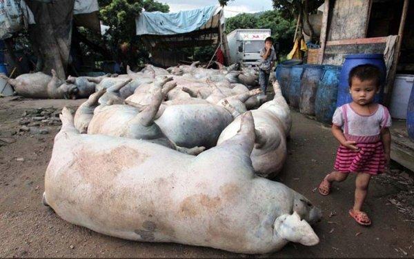 Молния убила 53 свиньи одним ударом