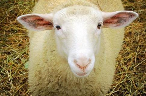 В Швеции страшные новости для овец