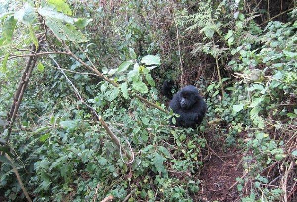 Гориллы Руанды научились уничтожать ловушки браконьеров