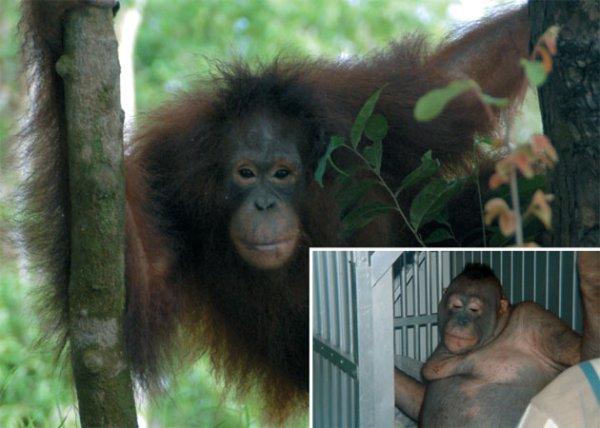 На о. Борнео орангутана использовали как проститутку