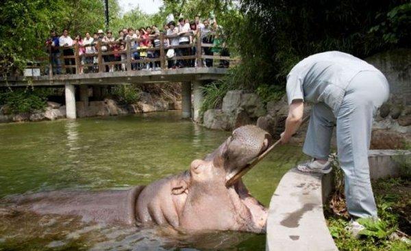 Как чистят зубы бегемоту