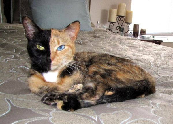 Необычная двуликая кошка-химера стала звездой Интернета