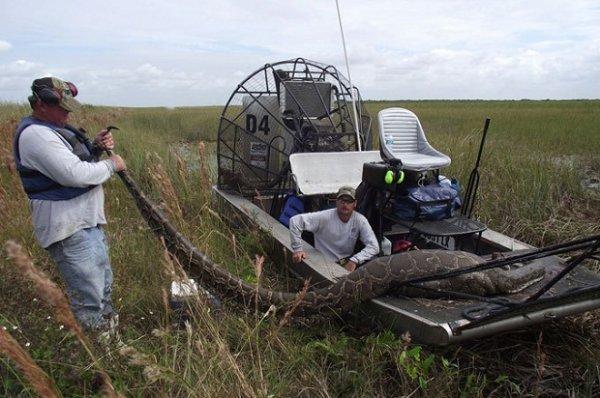 Во Флориде поймали питона с 87 яйцами внутри