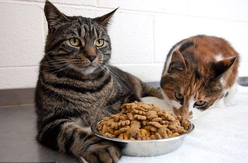 Два толстых кота смогли месяц прожить без еды