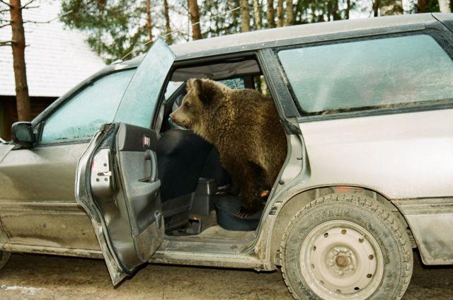Медведь в семье