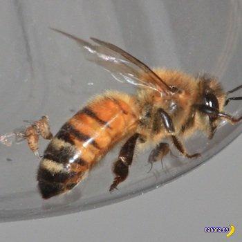 """Америку атакуют """"пчелы-зомби"""": ученые гадают, кто заразится следующим"""