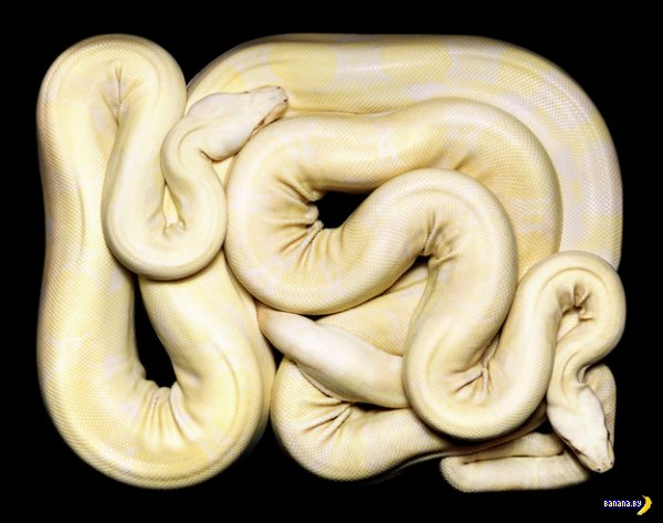 21 ящик со змеями