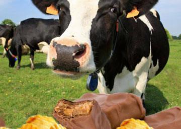 Скот начинают кормить печеньем и шоколадом вместо настоящей еды
