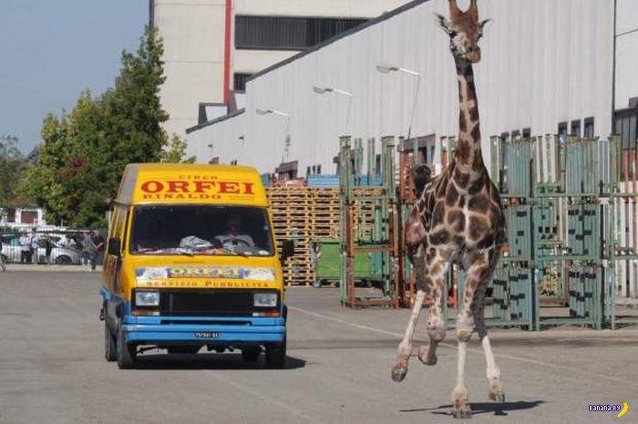 Судьба сбежавшего жирафа
