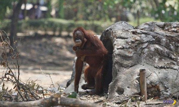 Орангутанг Тори бросила курить. А ты?