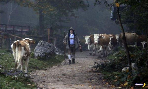 Альпийский круиз коров