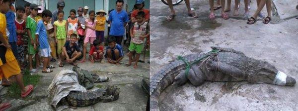 А во Вьетнаме крокодилы с фермы разбежались