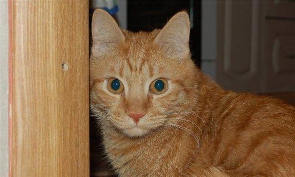 Кот нашел свою хозяйку, пройдя 250 км