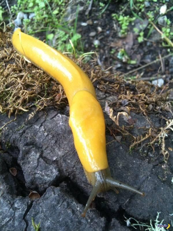 Банановый слизень