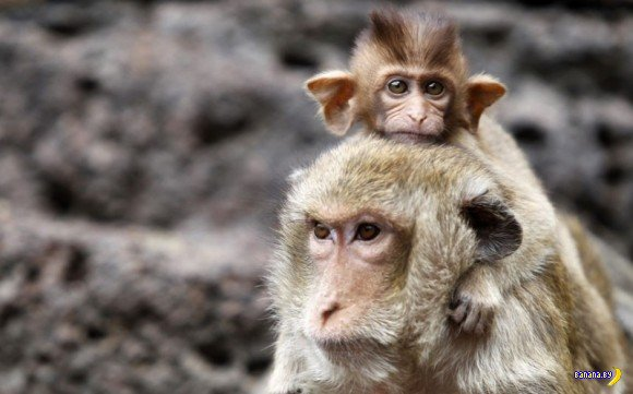 Банкет для обезьян