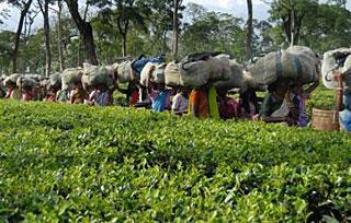 Рабочие чайной плантации зажарили и съели своего хозяина вместе с женой