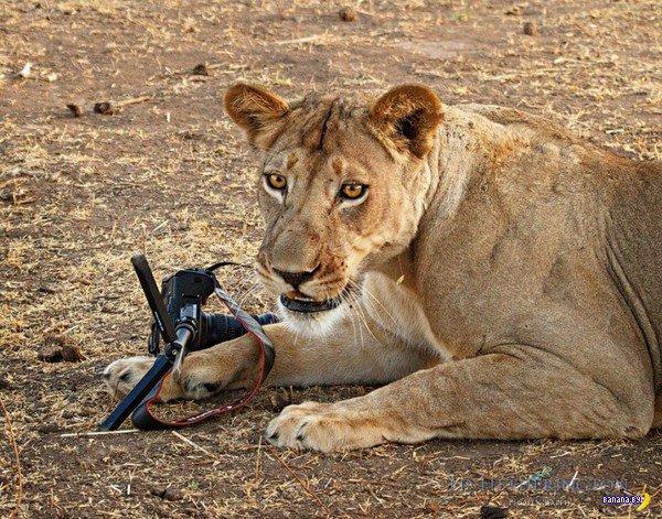 Львица и фотоаппарат