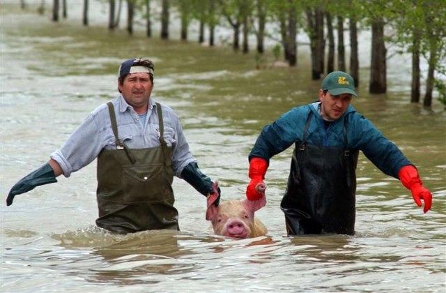 ЕС обязало литовских свиноводов развлекать свиней
