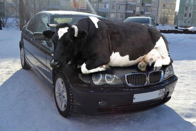 Фотосессия сексуальной телочки на капоте BMW