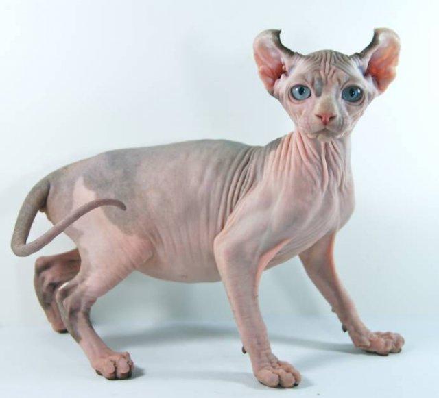 Знакомьтесь, новая порода кошек, кошка -эльф!