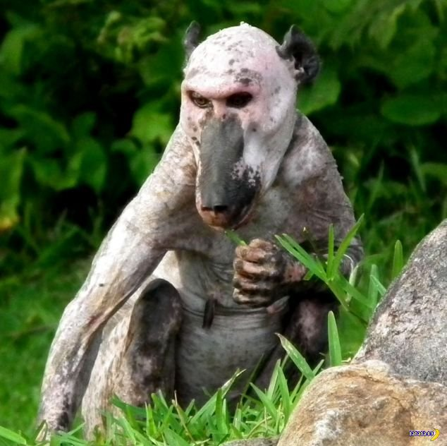 Лысый бабуин