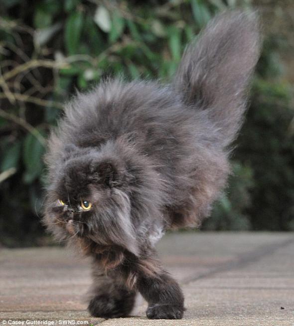 Кот-инвалид научился ходить на двух правых лапах