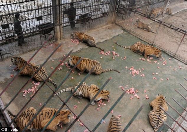 Вино из тигров - запретное пойло Китая