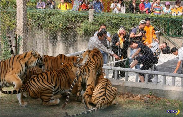 Поиграть с тиграми в игру