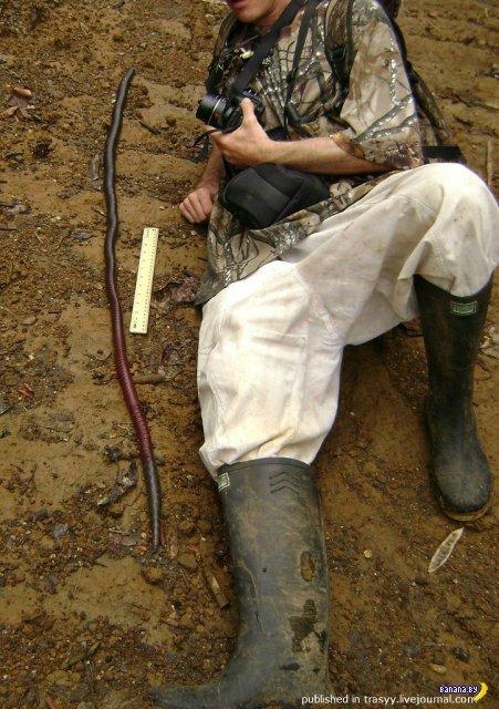 Гигантский дождевой червь Австралии