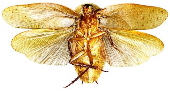 На Земле существует более 4 500 видов тараканов, и учёные постоянно открывают новые