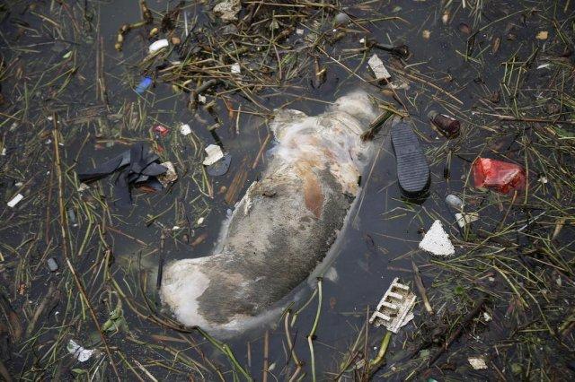 2 800 мертвых свиней плавают в реке Хуанпу возле Шанхая