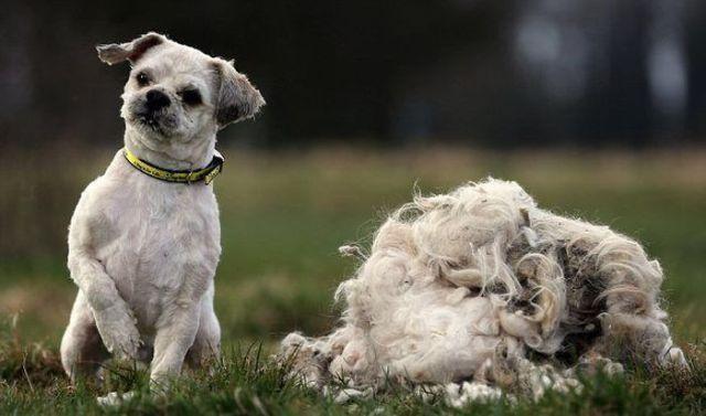 Под слоем шерсти обнаружена собака!