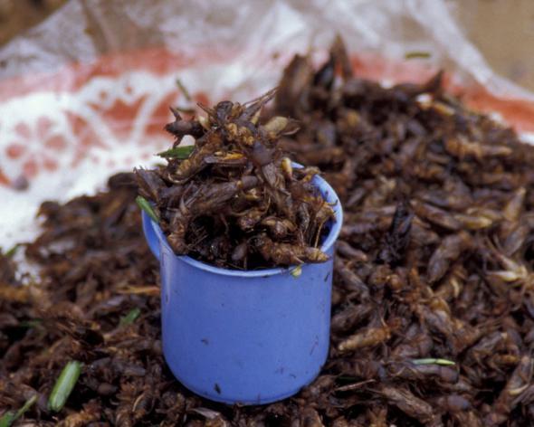 ООН призвала голодающих есть насекомых