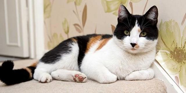 Редчайший английский кот - один на 400 тысяч!