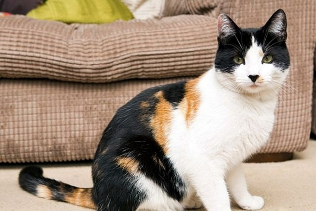 Вестник нищеброда. Редчайший английский кот - один на 400 тысяч!