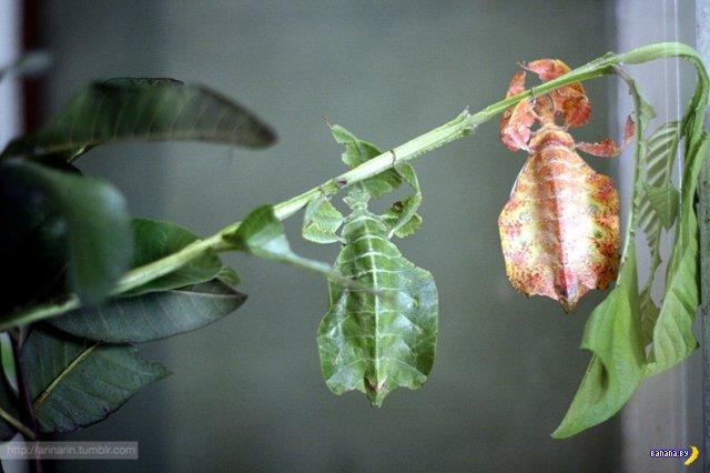 Ходячие листья