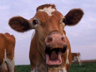 Лучшую корову выберут в Беларуси 6 июня