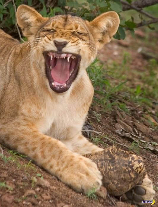 Обед у львицы