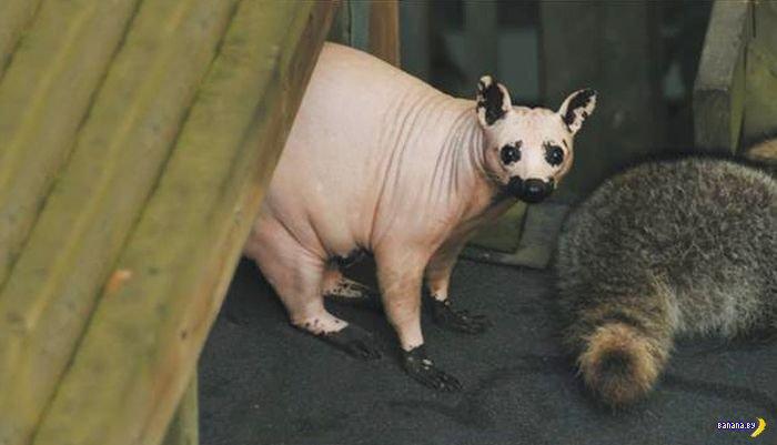 Лысый енот - самый страшный зверь
