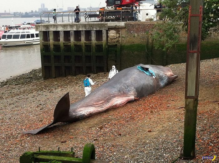 london whale article London (ap) — a beluga whale was spotted in the river thames outside the british capital on tuesday, officials said the unusual sighting happened in the gravesend area about 30 miles (50 kilometers) east of london it was reported to be feeding near a number of barges can't believe i'm writing.